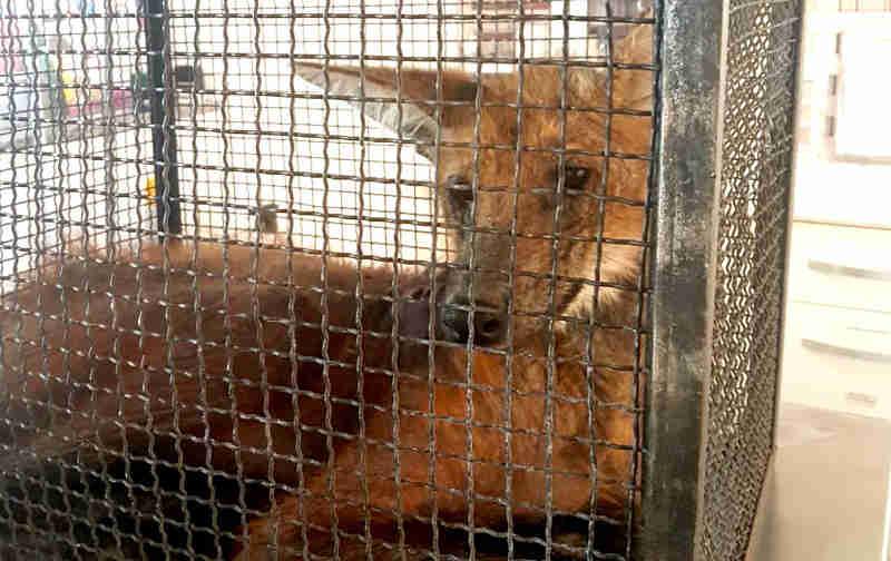 Lobo-guará apresentava sinais de desnutrição quando foi encontrado em um paiol em Bastos (Foto: Divulgação / Corpo de Bombeiros)