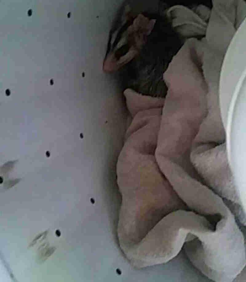 Gambá foi encontrado dentro de máquina de lavar em Campo Grande (MS) (Foto: Polícia Militar Ambiental/Divulgação)
