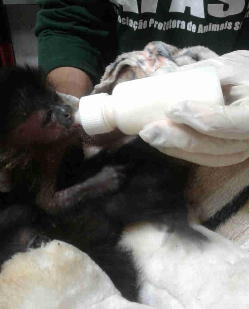 Após resgate de bagageiro de ônibus, filhote de macaco-prego se recupera em centro de referência em Assis (Foto: Arquivo Pessoal)