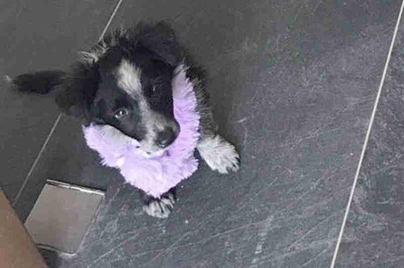 A pequena Mollie morreu após um erro do médico veterinário.