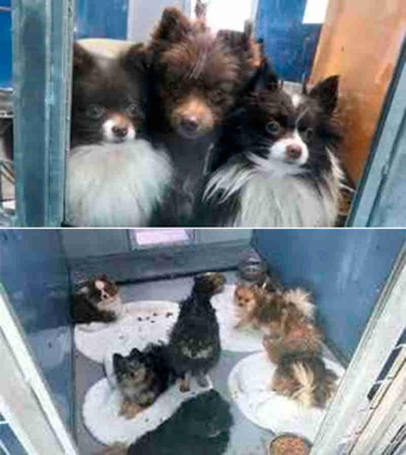 Mais de 160 cães criados numa fábrica de filhotes são resgatados em Nevada, EUA
