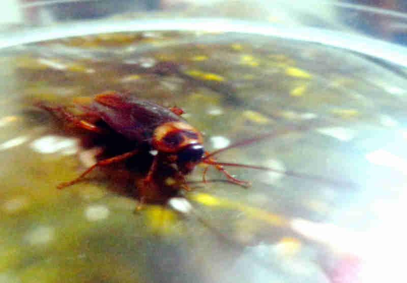 Matar barata, ter pena de abelha