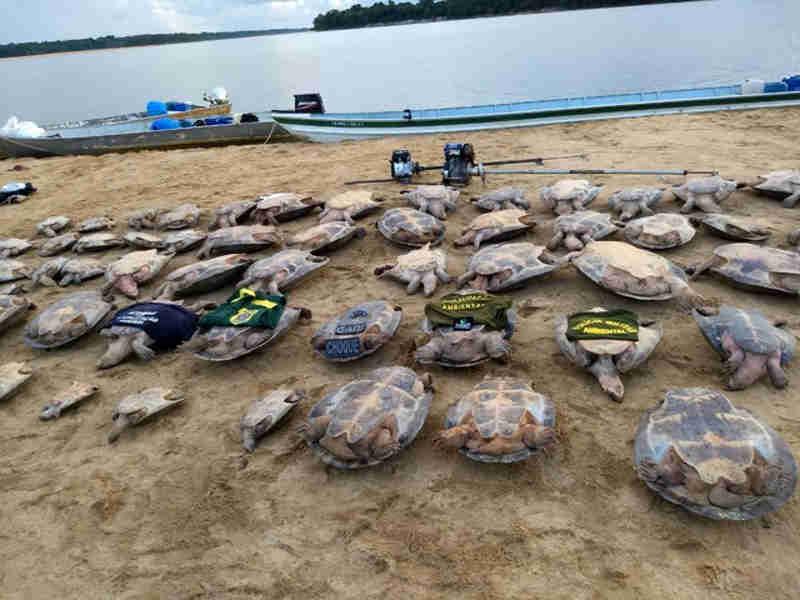 Tartarugas seriam vendidas para criminosos no Amazonas (Foto: Femarh / Divulgação)