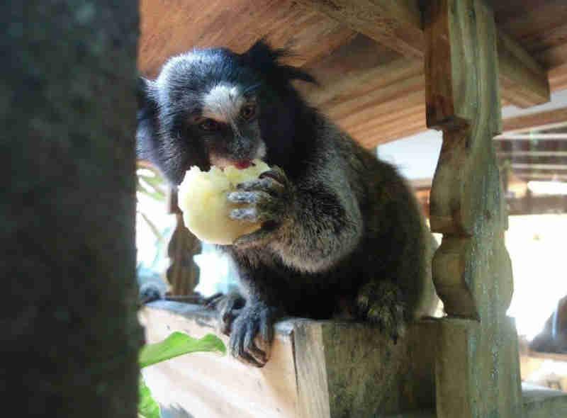 Vizinhança em Mairiporã também recebe visitas frequentes de outras espécies de macaco (Foto: Elcinei Spinelli/Arquivo Pessoal)