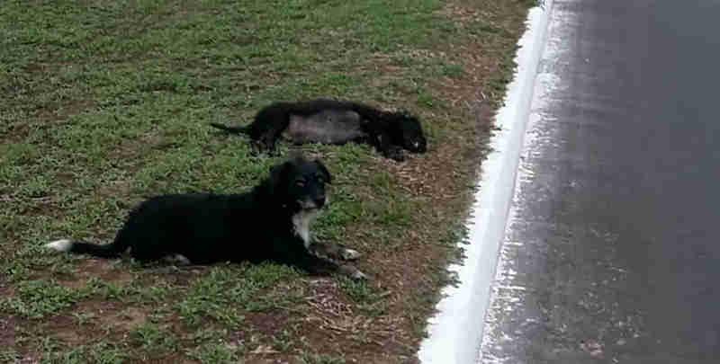 Cachorro fica ao lado de cadela que foi atropelada em avenida de Palmas (Foto: Nice Regina/Divulgação)