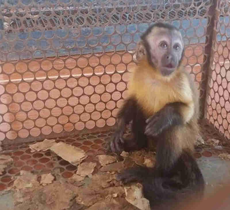 Macaco que ficou 6 meses com a família era tratado como animal de estimação (Foto: Batalhão Ambiental/Divulgação)