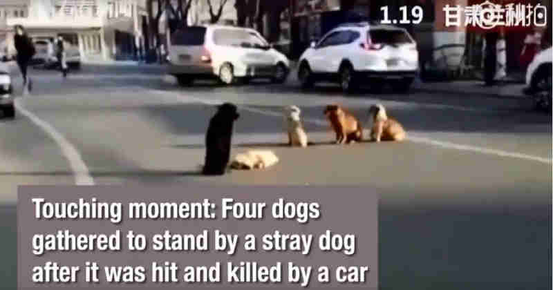 Cães comovem ao permanecer ao lado de amigo morto