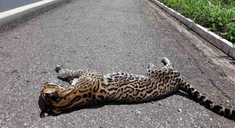 Animal foi encontrado na BR-070 em Cáceres (MT) (Foto: PRF/Divulgação)