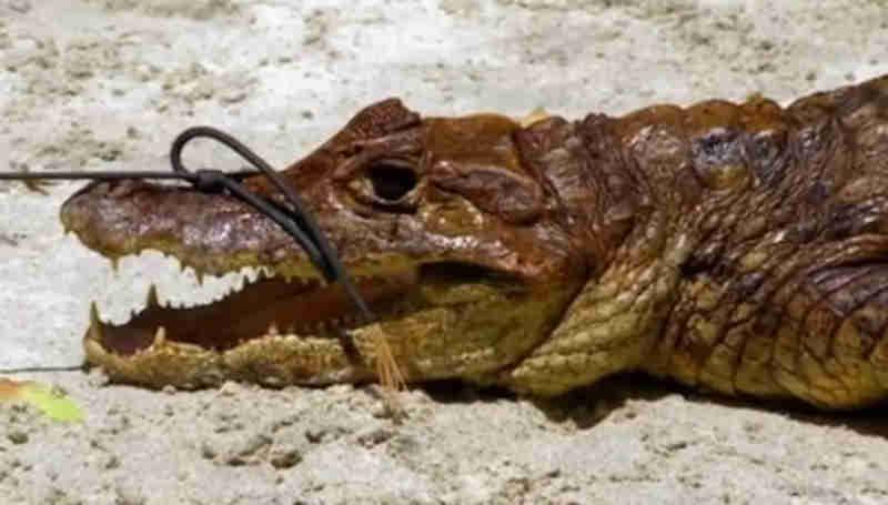 Crocodilos foram mortos pelos participantes do programa Foto: Reprodução de 'The Island with Bear Grylls' (2017) / Channel 4