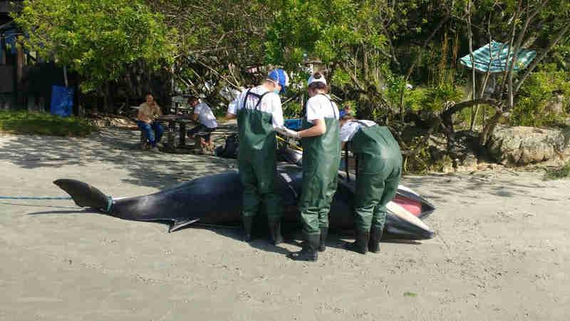 Baleia é encontrada morta em praia de Porto Belo, SC