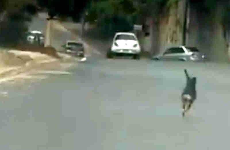 Vídeo de cão correndo atrás de carro em Bauru (SP) é investigado pela polícia como abandono; assista