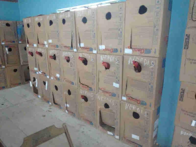 Galos estavam em caixas de papelão empilhadas no sítio em São Roque (Foto: Polícia Ambiental/Divulgação)