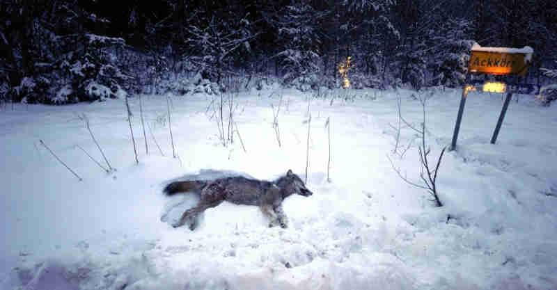 A temporada de caça ao lobo abre na Suécia