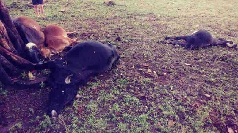 Cinco animais morrem atingidos por raio na zona rural de Mata Grande, em AL