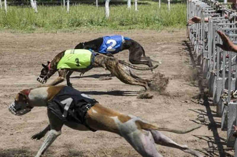 Capturaram grupo que organizava corridas de galgos em Carhué, Argentina