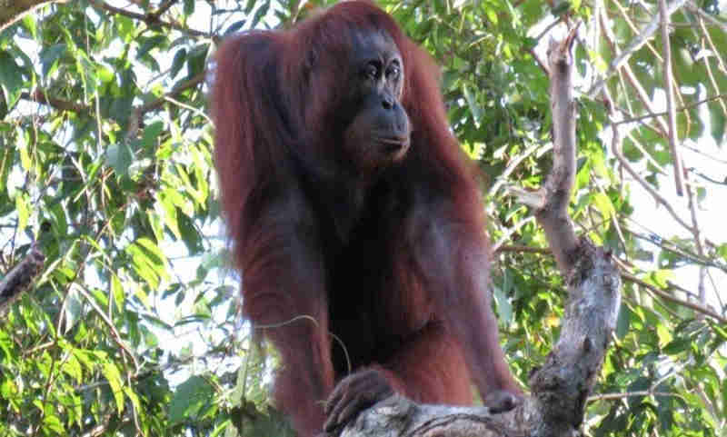 Em apenas 16 anos, Bornéu perde 150 mil orangotangos