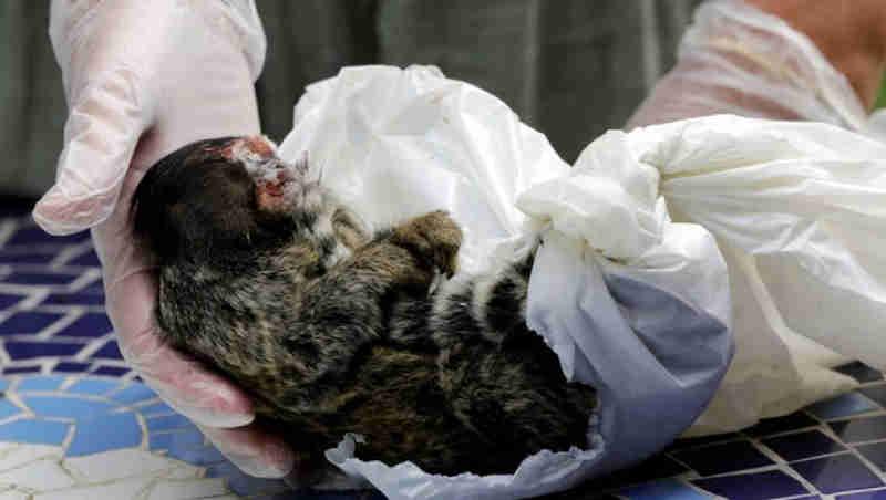 Le Monde relata que macaco virou bode expiatório de brasileiros na epidemia de febre amarela