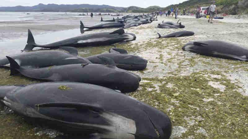 Mais de 20 baleias-piloto morrem ao dar à costa na ilha cabo-verdiana do Maio