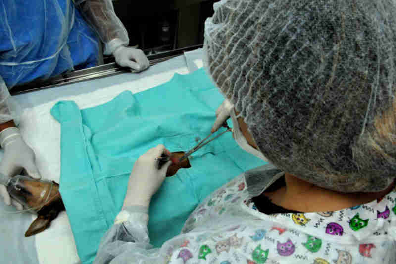 Procedimentos cirúrgicos, inclusive castrações, serão feitos no Hospital Veterinário Público de Brasília (Foto: Tony Winston/Agência Brasília)