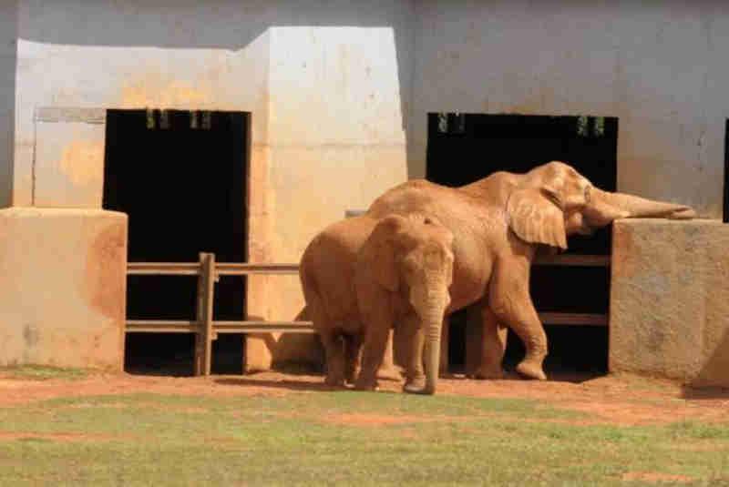 Badu e Belinha vieram juntos da África para Brasília. Badu veio com três anos de idade e morreu no último dia 7, com 25 anos (Foto: Nilson Carvalho/Agência Brasília)