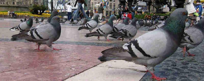 Prefeitura de Barcelona é denunciada pela matança de pombos