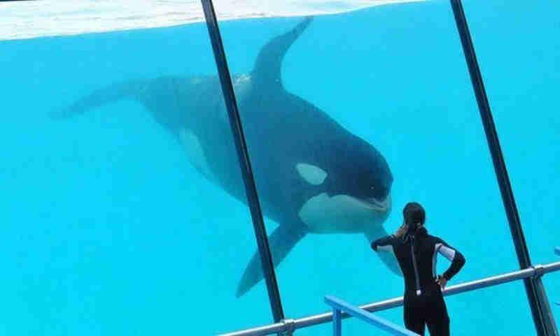Entidades condenam treinamento 'cruel' de 'orca falante' na Espanha