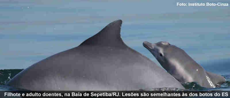 Perigo no mar: primeiro surto de morbilivírus em cetáceos na América do Sul chega ao ES