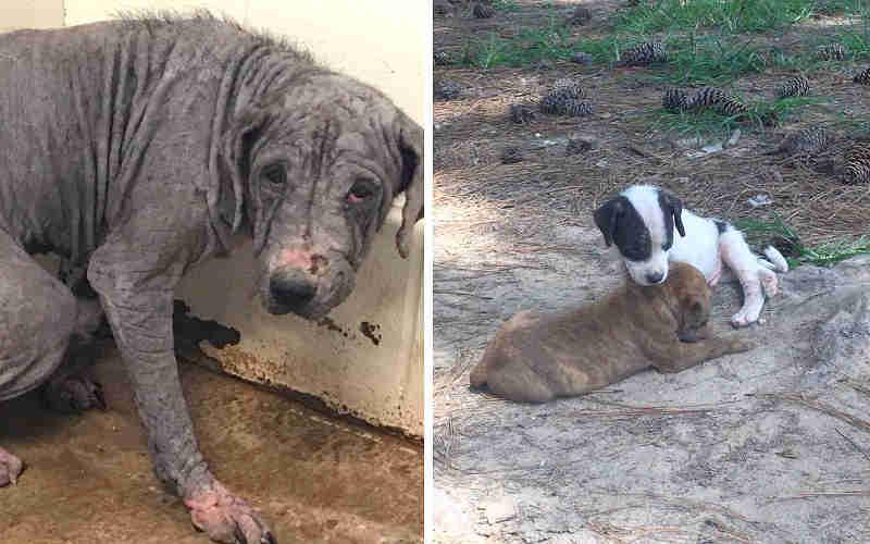 Tutores cruéis foram presos após 30 cachorros serem encontrados sofrendo de sarna grave em uma propriedade abandonada