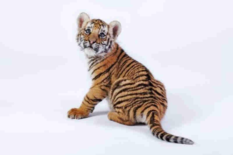 Jovem condenado a prisão por tentar entrar com tigre nos EUA