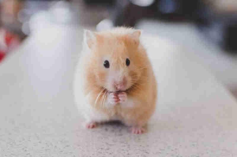 Garota joga hamster no vaso sanitário após empresa não permitir o animal no voo