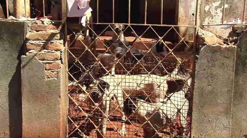 Dezenove pit bulls são resgatados por suspeita de maus-tratos em Goiânia, GO