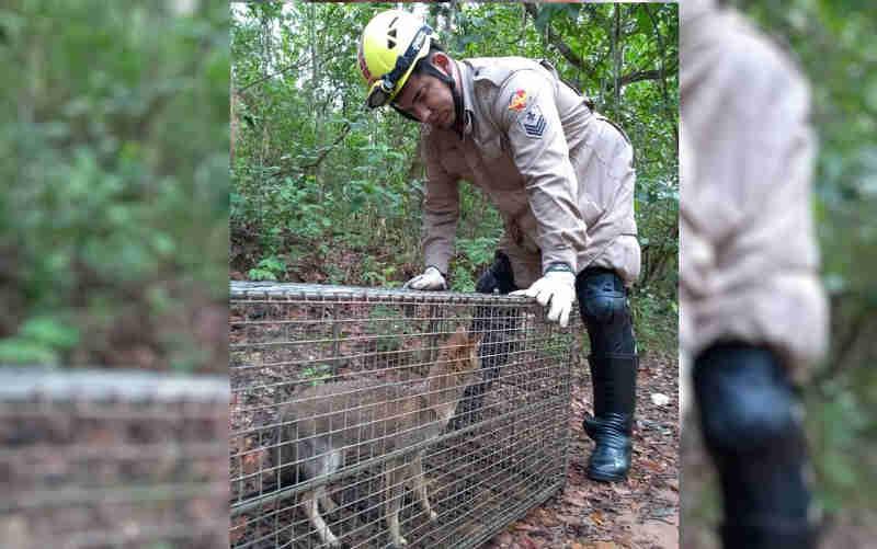 Raposa é capturada por bombeiros no quintal de uma casa em Pirenópolis, GO