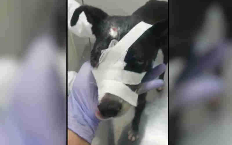Grupo faz campanha para pagar tratamento de cadela baleada na cabeça em Anápolis, GO