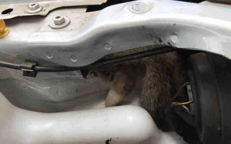 Bombeiros retiram para-lamas de carro para resgatar filhote de gato em Caldas Novas, GO