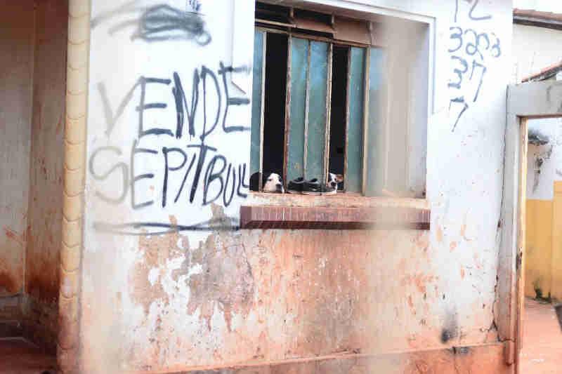 Operação resgata 19 pit bulls vítimas de maus-tratos em residência, em Goiânia, GO