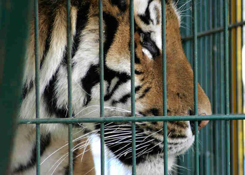Tigre ataca cuidador na Guatemala e arranca seus braços
