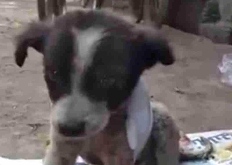 Cachorrinho que perdeu toda a pele das costas devido a um acidente brutal ganha os cuidados necessários graças a estranhos bondosos