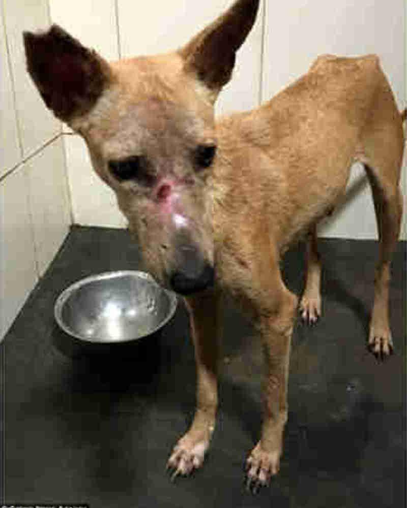 Cão fica sem pele no focinho após ataque com ácido