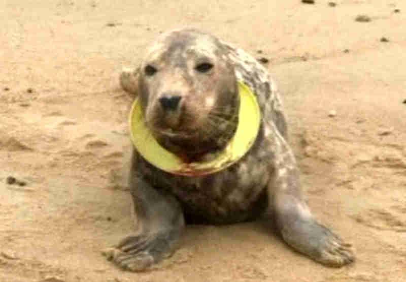 Frisbee, a foca encontrada a sufocar com disco voador já voltou ao mar; vídeo