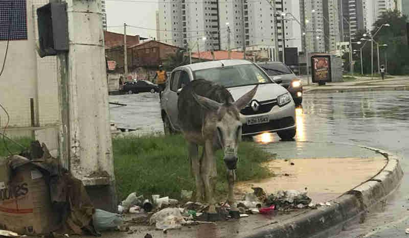 Jumento preso a poste e debaixo de chuva causa indignação em São Luís, MA
