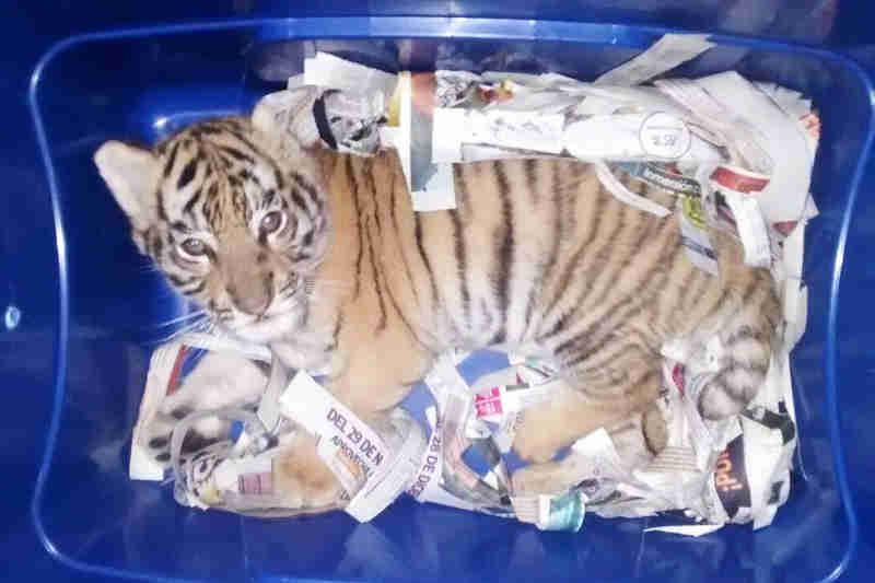 Filhote de tigre é enviado pelo correio no México