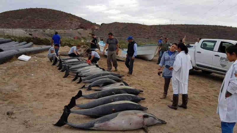 Vinte e um golfinhos são mortos por espécie maior no México