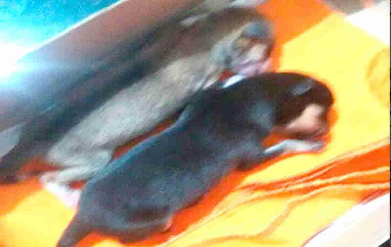 Filhotes de cachorro são abandonados dentro de sacola plástica em Presidente Olegário (MG) e revolta moradores