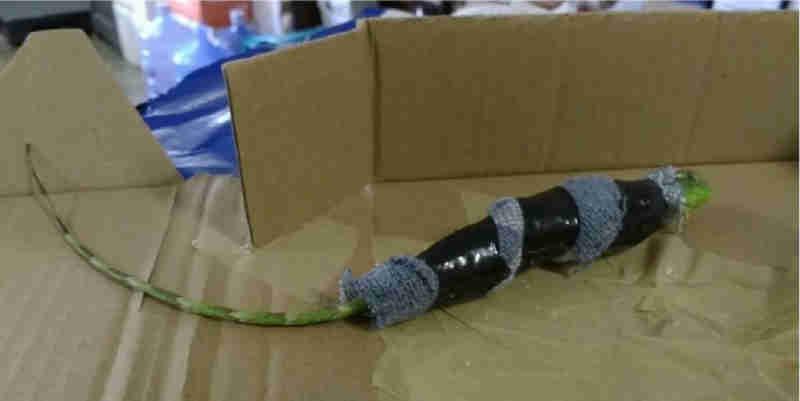 Filhote de iguana é encontrado enrolado em tubo de PVC em Juiz de Fora (Foto: Divulgação/Ibama)
