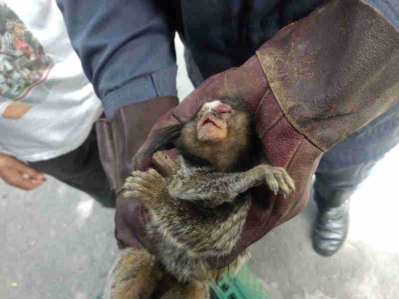 Bombeiros resgatam macaco apedrejado em Montes Claros, MG