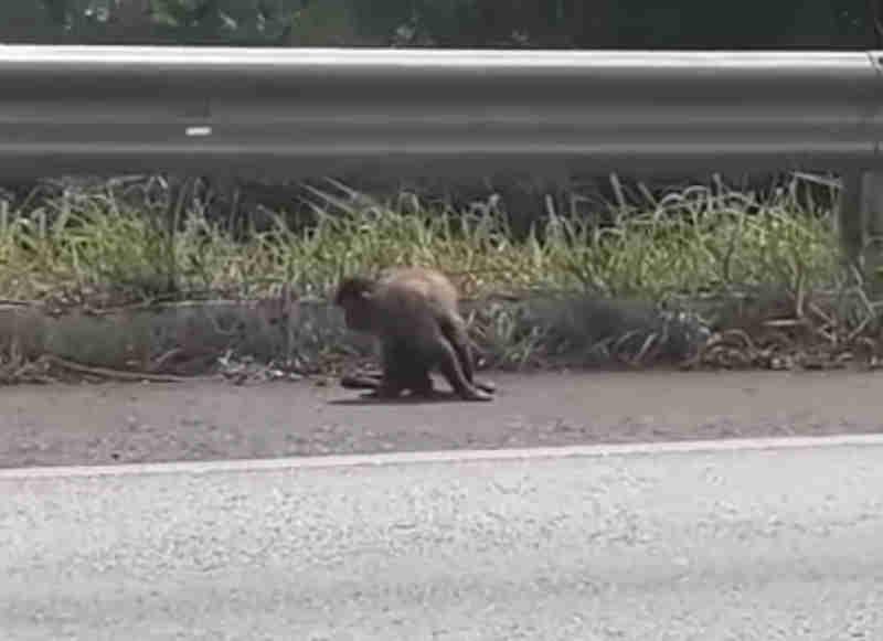 Macaco desnorteado é localizado na BR354 próximo ao Aguinaldo das Pamonhas, em Patos de Minas, MG; vídeo