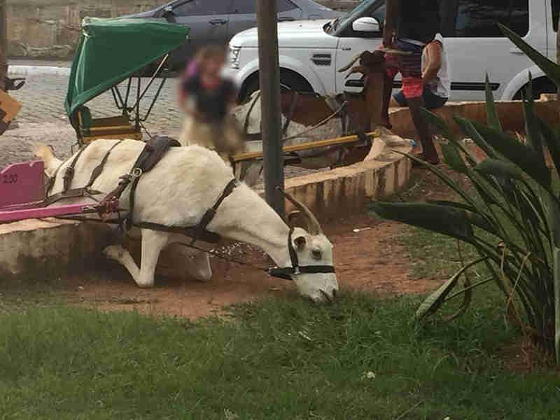 Foto de bode explorado em charrete se ajoelhando para comer causa polêmica nas redes sociais em MG