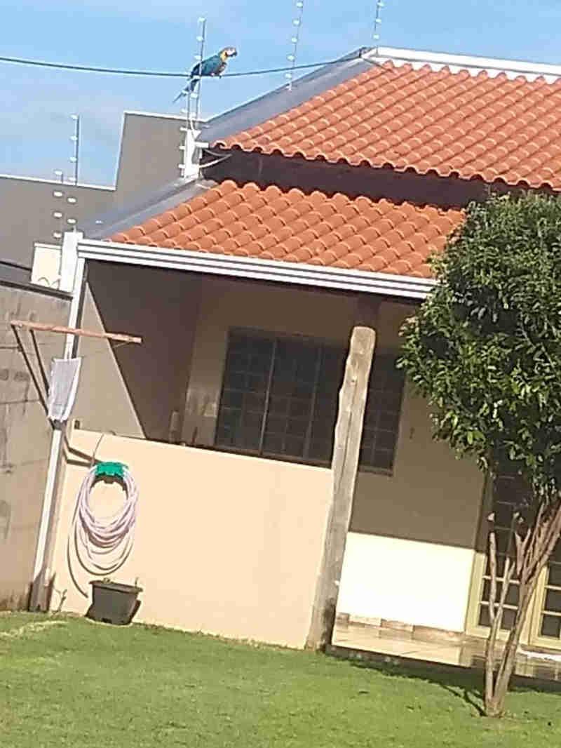 Morador assusta com alarme do vizinho e encontra arara-canindé presa na rede de energia em MS
