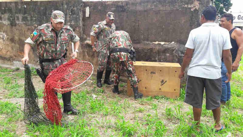 Vídeo: capivara que passeava pelo centro de Campo Grande (MS) é capturada pela PMA