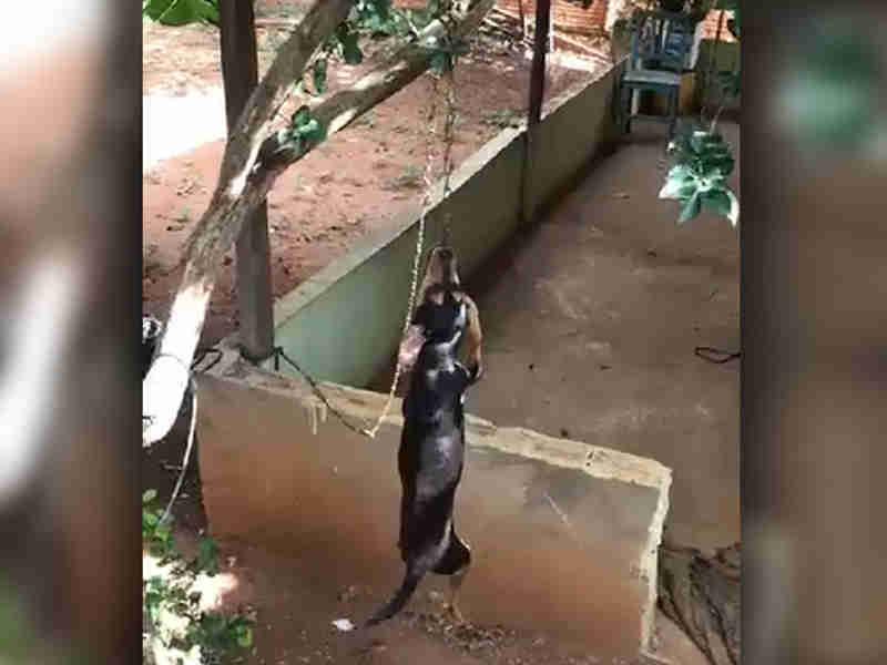 Vídeo: vizinhos flagram tortura a cachorro que é pendurado em árvore em Campo Grande, MS